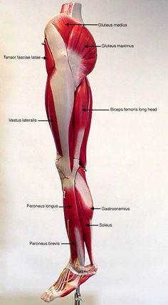 Muscle on Pinterest  Muscular System Leonardo Da Vinci