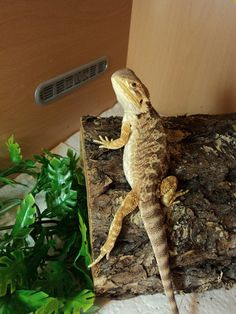 1000 images about Reptiles on Pinterest  Bearded dragon