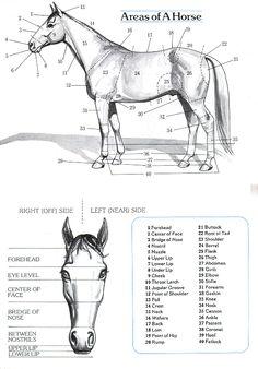 Horses, Anatomy and Horse anatomy on Pinterest