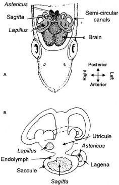A diagram of an otolith, or ear bone, of a fish. You can