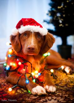 1000 Images About Dogs Wrapped In Christmas Lights On