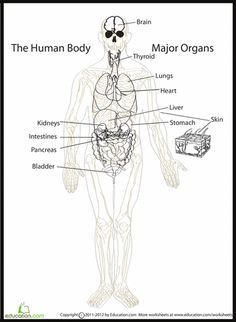 1000+ images about Internal body parts on Pinterest