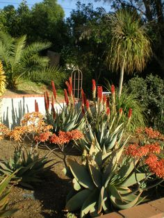 ALOE Barberae Aloe Tree Gardening Pinterest Gardens Trees