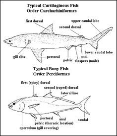 animal skin chair covers english wing shark anatomy diagram to label | ocean life pinterest and