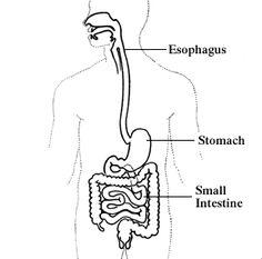 Resultado de imagen para el sistema digestivo y sus partes