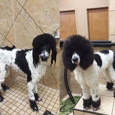 man s best friend on pinterest poodles standard poodles and dalmatians