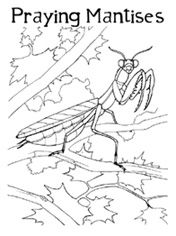 1000+ images about Praying Mantis Unit Study on Pinterest