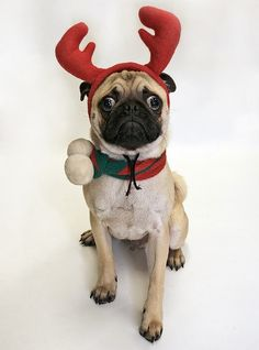 1000 Images About Christmas Pugs On Pinterest Pug