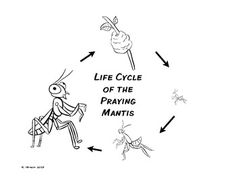 Praying mantis, Fun facts and Life cycles on Pinterest