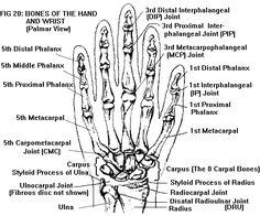 hand anatomy terminology Gallery