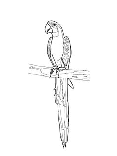 Printable macaw coloring page. Free PDF download at http