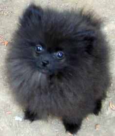 1000 images about Cute Pomeranians on Pinterest Teacup