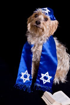 Weimaraner and Weiner Dog Dachshund in Hanukah/Mitvah