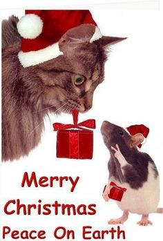 1000 Images About Christmas Kitties On Pinterest