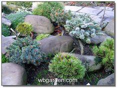 Dwarf Conifer Garden Design Ideas For Front Yard Dwarf Conifers