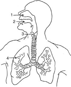 Structure of the Human Respiratory System Explicated With