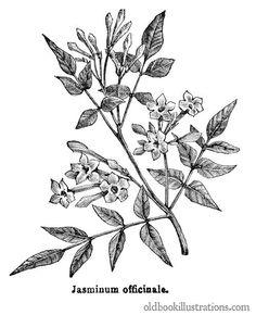 Jasmine, Flower drawings and Flower on Pinterest