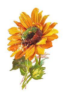 sunflowers sunflower
