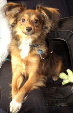 DOGS PAPILLONS On Pinterest Papillon Dog Long Haired