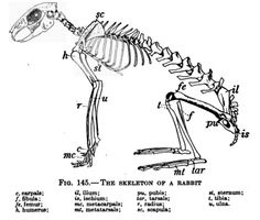 Rabbit skeleton anatomy & osteology reference with