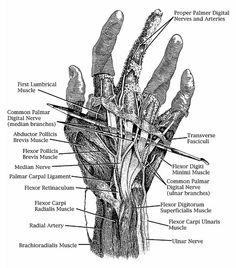Anterior view of the course of the radial nerve. Note the