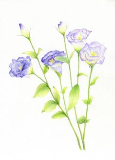 pencil yellow rose drawings drawing colored