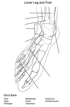 Kinetic Anatomy 3E: Levers work to create movement in the