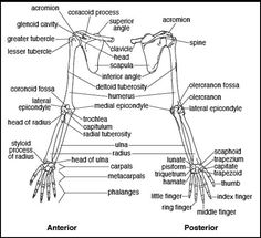 1000+ images about Upper Limb Anatomy on Pinterest