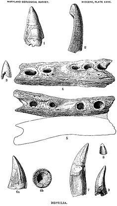 Maryland Geological Survey: Characterisic Maryland Fossils