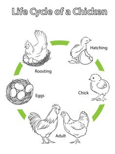 1000+ images about 21 days with chicken egg on Pinterest