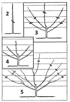Apple Tree Options for Small Spaces Growing apple trees