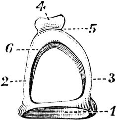 The head of the Capitulum (Stapes) provides a concave
