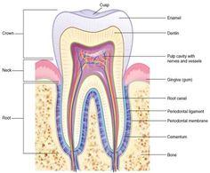 dental tooth numbering practice chart  Dental Assisting  Pinterest  Dental teeth Dental and