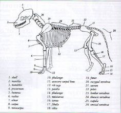 Rear Angulation of the American Staffordshire Terrier