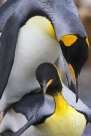 pinguins penguins