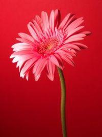 Gerbera Daisy | Gardening, Plants & Backyard | Pinterest ...