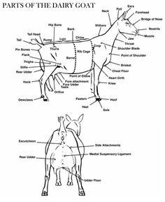 1000+ images about Goat Showmanship (meat/market goats) on