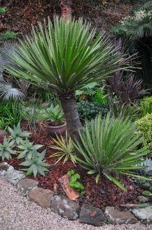 "Yucca Desmetiana ""Blue Boy 4' 6' Tall & 3' 5' Across Slow"