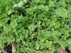Perennial Sowthistle P Sonchus arvensis family