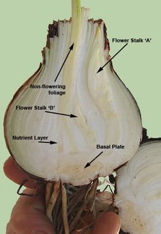 flower parts diagram off grid cabin wiring 1000+ images about seeds and bulbs on pinterest | bulbs, of a plant