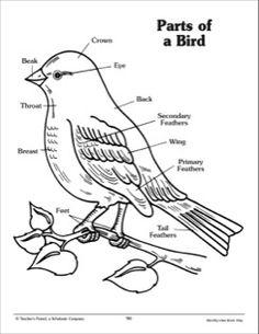 bird skeleton, info on bird wing (ie why do birds have