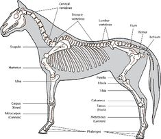 1000+ images about Equine System: Skeletal / Joint on
