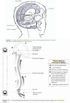 1000+ images about Cranio Sacral Therapy on Pinterest