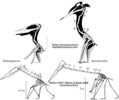 The pterosaur Quetzalcoatlus is the largest flying