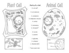 Animal Cell Color Page, Worksheet, and Quiz Ce-3