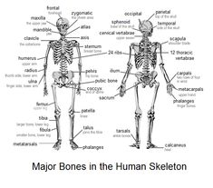 A List of Bones in the Human Body With Labeled Diagrams