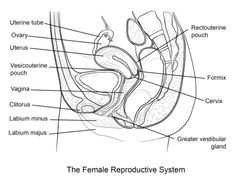 1000+ ideas about Female Reproductive System Anatomy on