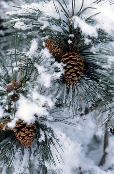 1000 Images About Snow Covered Pines On Pinterest Pine