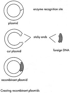Recombinant DNA-Cloning! Recombinant DNA molecules are