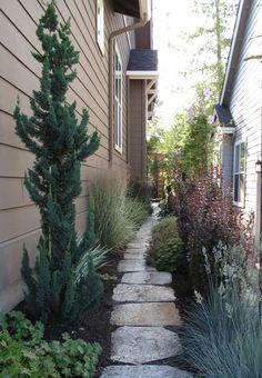 show-stopping blue atlas cedar